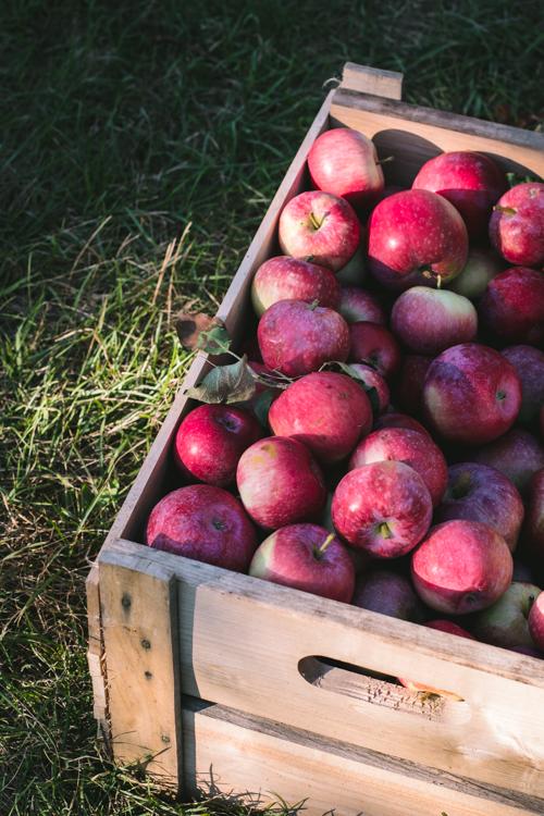 Une caisse pleine de pommes