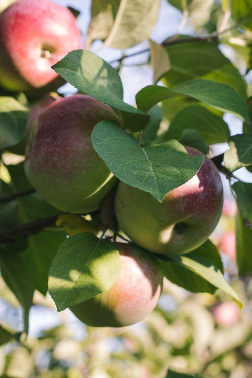 Une belle grappe de pommes